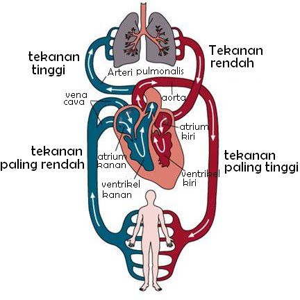 how does the lungs heart and arteries work together to benefit your body